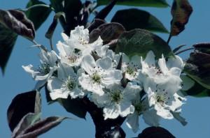 梨の花アップ